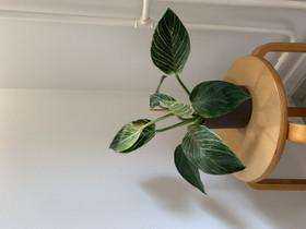 Philodendron birkin, Kasvit ja siemenet, Piha ja puutarha, Tampere, Tori.fi