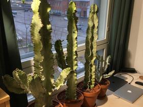 Euphorbia ammak variegata White Ghost, Kasvit ja siemenet, Piha ja puutarha, Oulu, Tori.fi