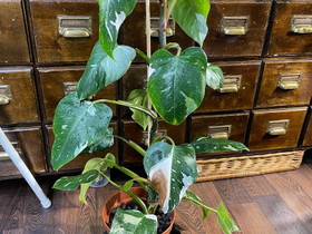 Philodendron White Princess, Kasvit ja siemenet, Piha ja puutarha, Nivala, Tori.fi