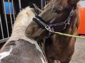Ratsastusta, Hevoset ja ponit, Hevoset ja hevosurheilu, Muurame, Tori.fi