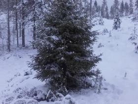 Joulukuusia, Muu piha ja puutarha, Piha ja puutarha, Rovaniemi, Tori.fi